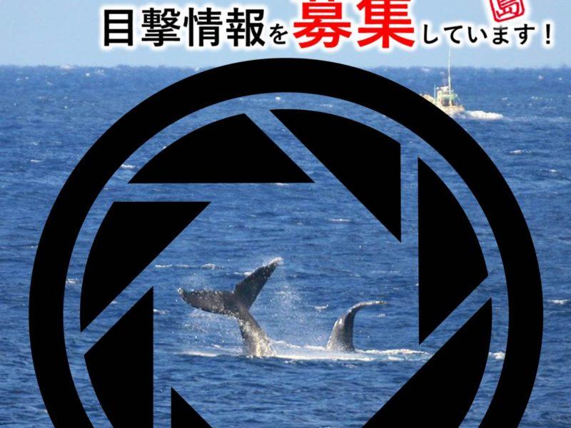 ザトウクジラの目撃情報を募集しています!