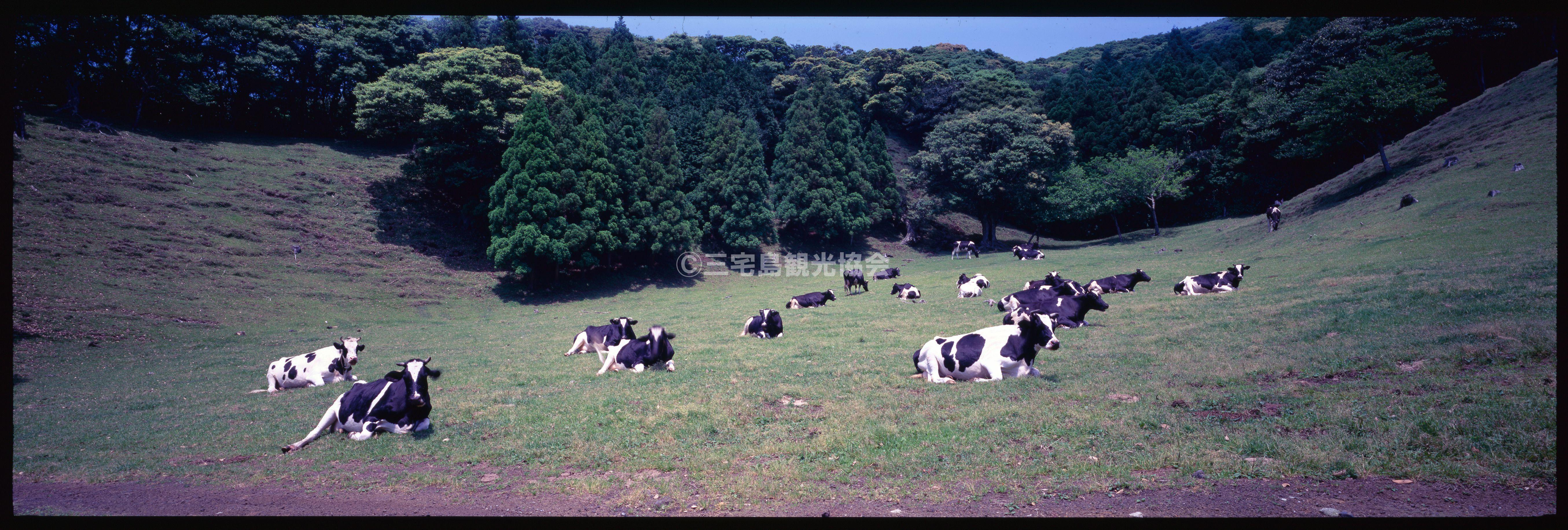 【パノラマ】 雄山中腹でくつろぐ牛たち