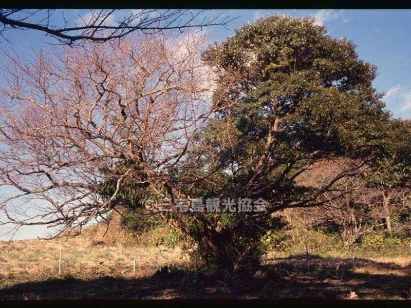 【パノラマ】 共生の樹