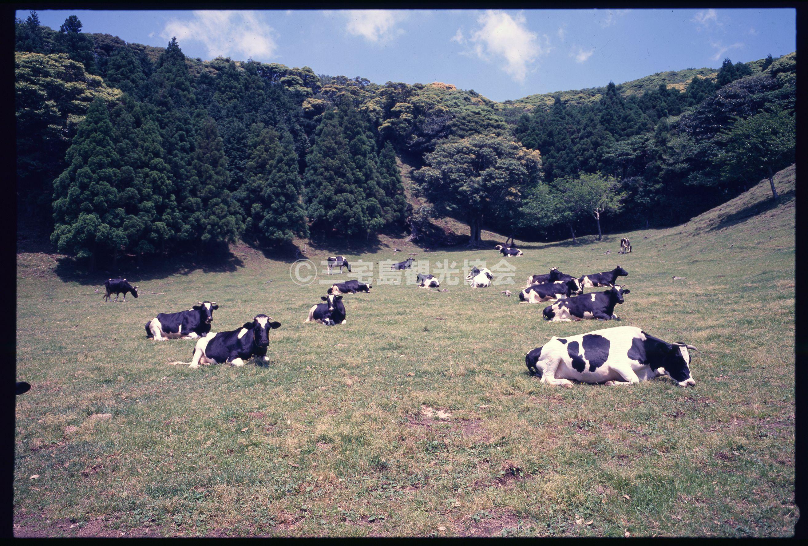 雄山中腹でくつろぐ牛たち